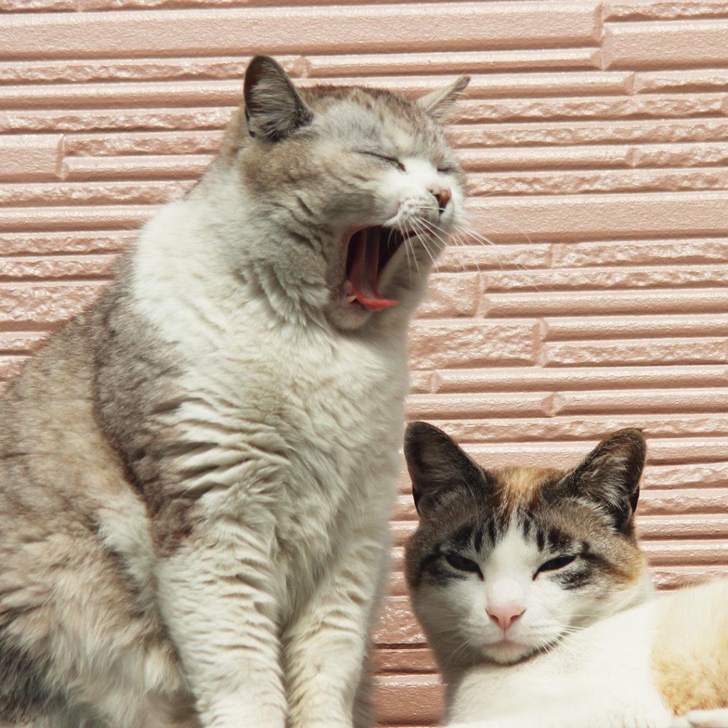 大あくびの猫