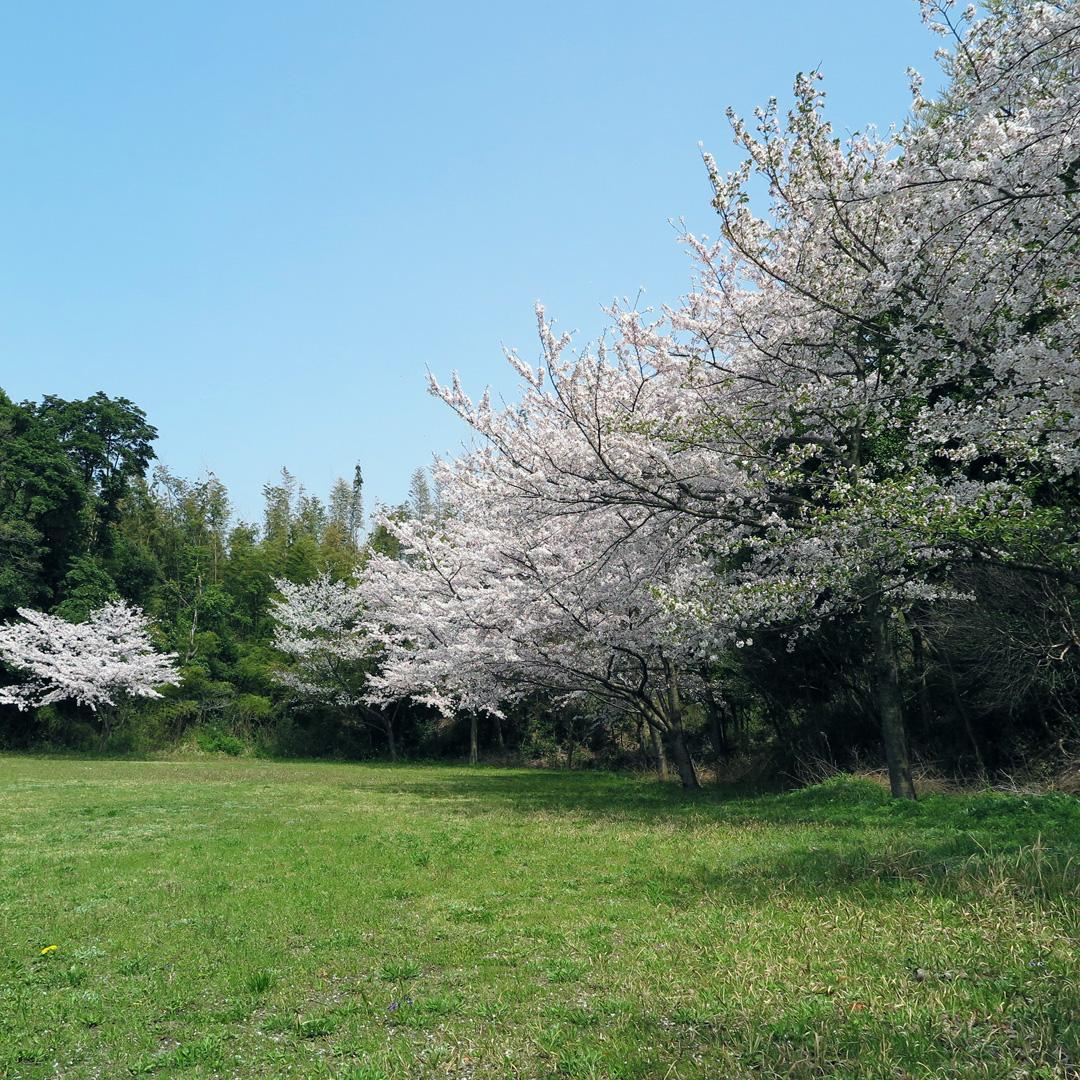 響灘緑地グリーンパーク 花見