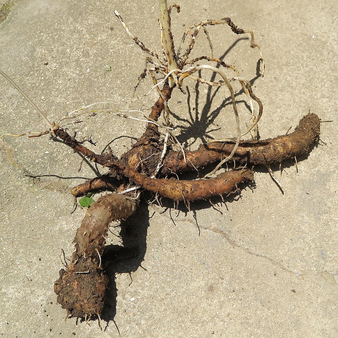 掘り出した自然薯